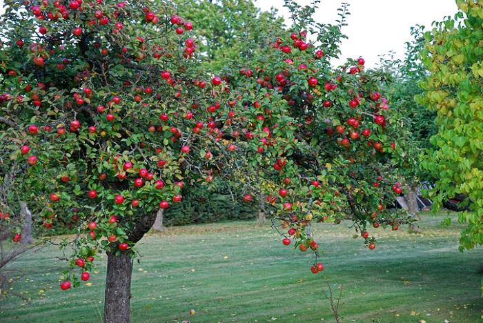 同じバラ科のりんごの木をご覧ください。りんごは木の両側に実が付いています。