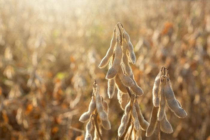 中国の有名な三国志に出てくるほどの大豆は、実は中国原産の植物なのです。  大豆は弥生時代に稲作と共に、中国から日本に伝わったと言われています。はじめは大豆は煮物として食べられていました。  現在の私たちの生活で大豆は、大豆そのものを食べるというよりも加工品として取り入れることの方が多いかもしれません。