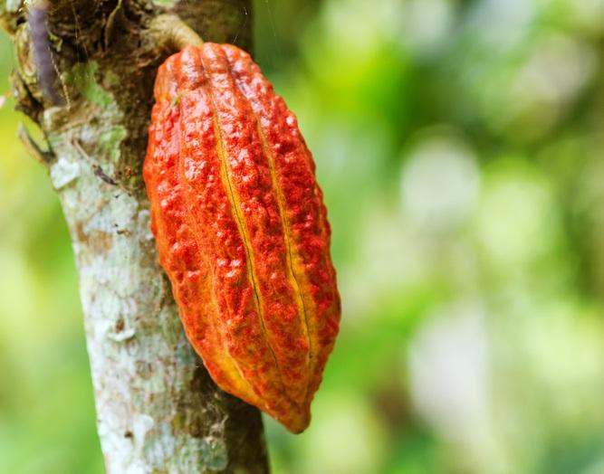 木の幹からもひょっこりと生えるカカオポッド。先ほどの花の可憐で繊細なイメージとは一味違いますね。  収穫期は産地によって異なりますが年2回収穫され、その後発酵、乾燥の作業を経て世界各地へ出荷されます。