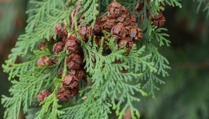 スギ花粉症の方が発症しやすいのが、ヒノキ花粉による花粉症です。高級建材として、多くの地域で人工林に植えられていますね。スギよりも1ヵ月ほど遅くに花粉を飛ばしはじめるので、「スギの時期は終わったはずなのに、鼻の調子が悪い……」という方はヒノキ花粉症を疑ってみる必要があるかもしれません。
