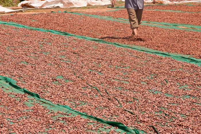 だいたい1週間ほどバナナの葉や木箱で発酵し、乾燥は天日乾燥がほとんどだそうです。