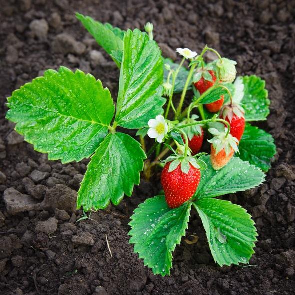 じつは、いちごの花は親株と反対側に咲くという特性を持っているので、片側にいちごの実をつけるのです。  親株がないとき時の目印はランナー(親株と子株をつなぐもの)です。ランナーの逆側から花が咲くので、家庭菜園で育てるときは収穫しやすい向きにいちごの苗を植え付けてあげましょう。  いかがでしたか?  今度いちごを食べる時は、一つ一つの粒までいちごをじっくり見つめながら食べてみてくださいね。
