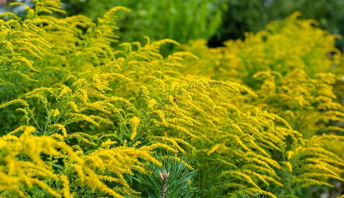 セイタカアワダチソウも別名「ブタクサ」と呼ばれる帰化植物なので、ブタクサと混同している方も多いようです。しかし、セイタカアワダチソウは虫媒花なので花粉症の原因とはなりにくいと思われます。