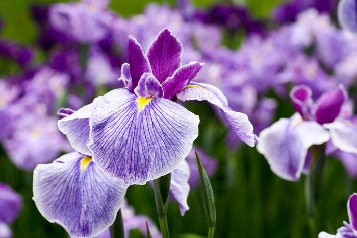 4、5月に開花期を迎えるアイリスは、花が終わったらすぐに摘み取ります。以前見たターシャの番組で、せっせとターシャもアイリスの花がら摘みをしていました。