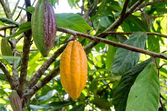 科・属アオギリ科テオブロマ属 和名加加阿、カカオノキ 英名Cacao 学名Theobroma cacao 原産地西アフリカ、東南アジア、中南米 名前の由来神様のたべもの 樹高4.5 -〜10m