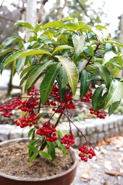 こちらも名前がおめでたいことから、センリョウと一緒に並ぶことが多いマンリョウ(万両)。背丈はセンリョウと同じくらいで、マンリョウは葉の下に実がつき、幹をぐるりと囲うように実ります。センリョウはセンリョウ科ですが、マンリョウはサクラソウ科なので、種類も全く違う植物です。