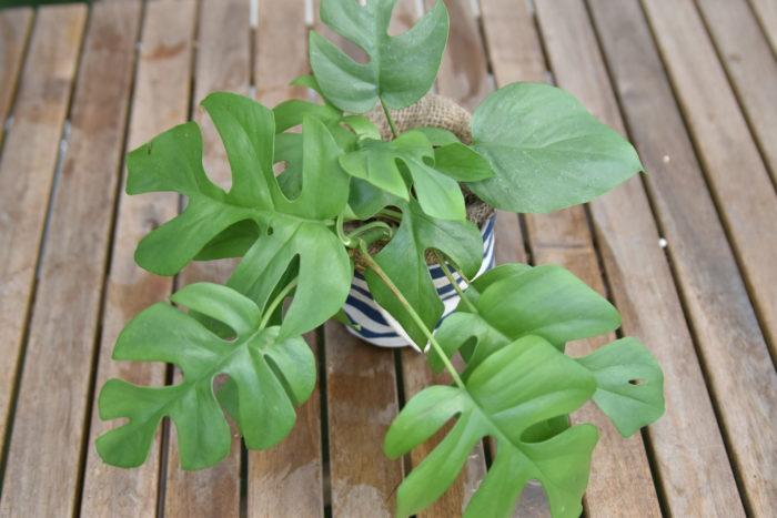 モンステラはサトイモ科の常緑性樹木で、熱帯アメリカ原産の観葉植物の一種です。耐陰性(日光不足に強い性質)があるため室内での栽培にも適しています。  大きな葉に切れ込みが入る姿は非常に人気があり、小型のヒメモンステラなど様々な品種があります。