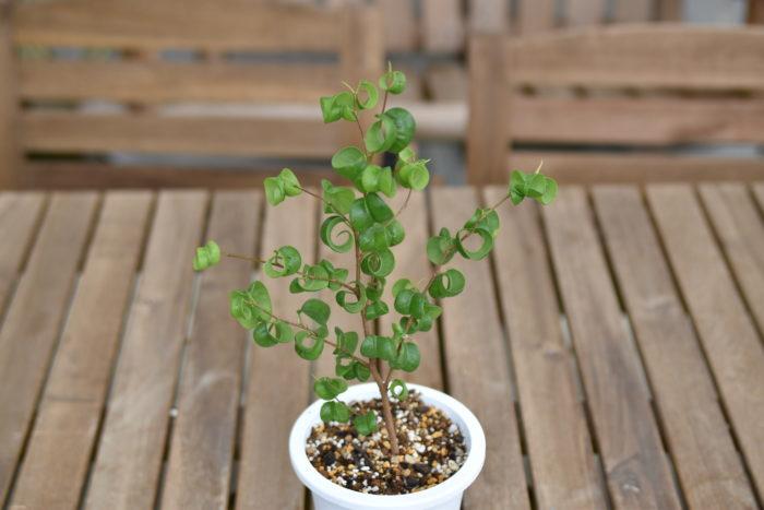 フィカス・ベンジャミン・バロックとはフィカス・ベンジャミンの園芸品種です。クワ科フィカス属に分類される東南アジア原産の植物になります。  葉が下向きにクルンと丸まった少し変わった姿をしていますが、フィカス・ベンジャミンと同じで挿し木で増やすことが出来ます。
