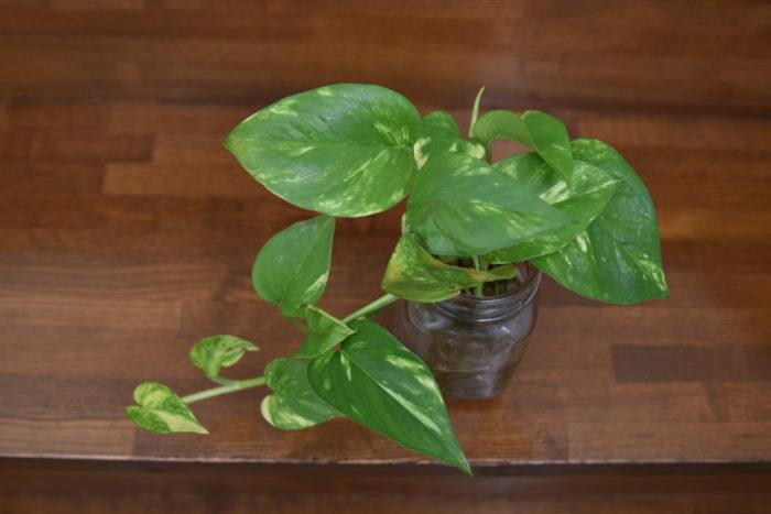 ポトスは観葉植物の中でも特に人気が高く、知っている方も多いのではないでしょうか。  水挿しで簡単に増やすことができ、そのまま水耕栽培できるので育てるのが非常に楽しい観葉植物です。