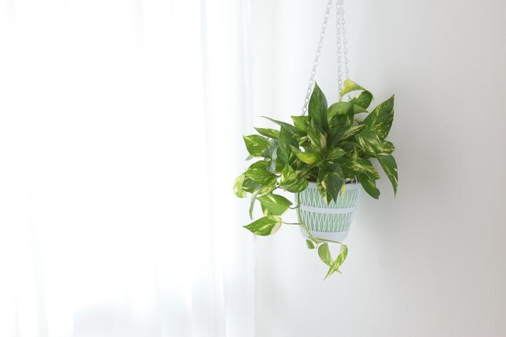 *サトイモ科ハブカズラ属 *Epipremnum aureum *別名:黄金葛(オウゴンカズラ)  昔からおなじみのとても丈夫な観葉植物。水挿しでも簡単に増やすことが出来るのも魅力的ですね。