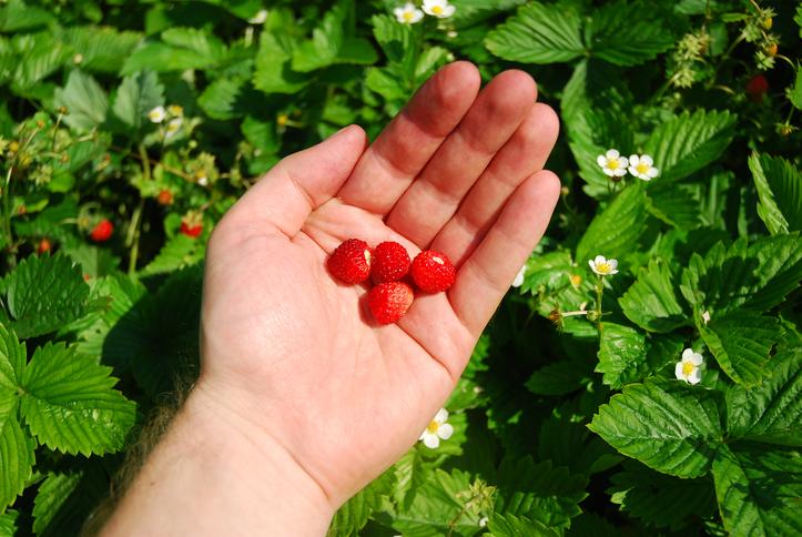 Picking wild strawberries. wild fruits.