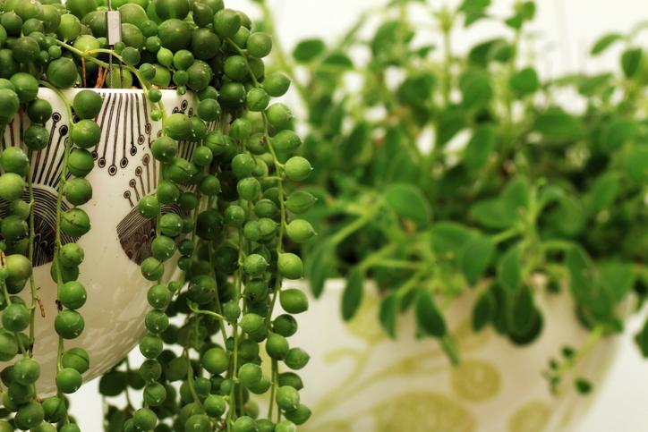 *キク科セネキオ属 *Senecio rowleyanus *別名:緑の鈴(ミドリノスズ)  コロコロと丸いグリーンピースのような葉が名前の通りネックレスのように連なる植物です。真ん丸な葉が目立つように垂れ下がらせて飾りたいですね!