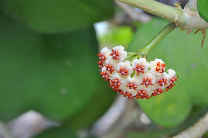 Hoya carnosa flower,Thailand