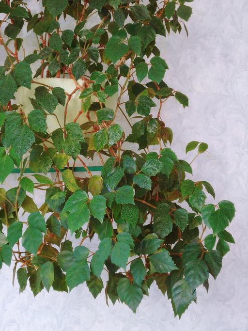 *ブドウ科シッサス属 *Cissus rhombifolia 'Ellen Danica'  同じブドウ科のツタと同じように巻きひげを使ってつるを伸ばしていきます。長さ5cmから10cmぐらいの切れ込みのある3枚の葉が特徴で、濃い緑色で光沢のある葉をしています。耐陰性があり明るい日陰でも育ちます。エレンダニカは大き目の葉が特徴のグレープアイビーの園芸品種の一つです。