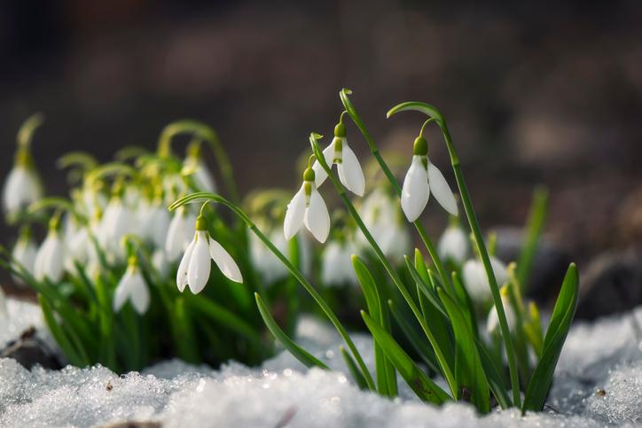 立春のころに咲く花 スノードロップ