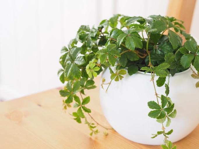 *ブドウ科パルテノキッスス属 *Parthenocissus sugarvine  別名:パーセノシッサス ・シュガーパイン  手を広げたような5枚の濃い緑色の葉っぱでつるをくるくる伸ばしていきます。葉っぱの裏に甘くて白い樹液をつけることからシュガー(砂糖)バイン(つる)とつけられたようです。日本に自生するナツヅタの仲間です。