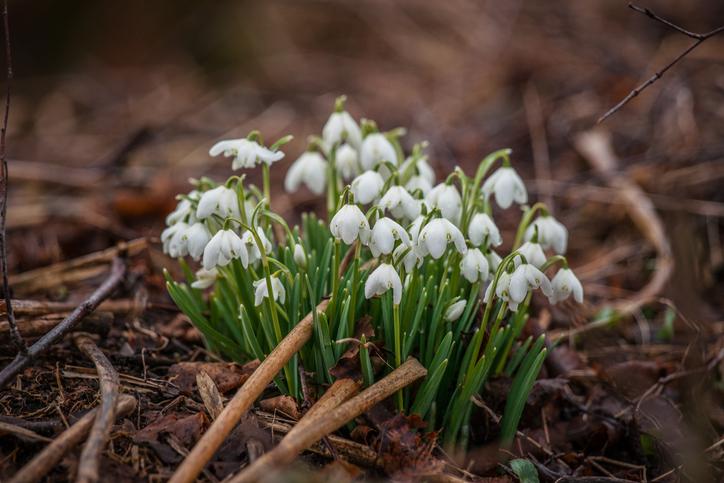 スノードロップの名前の通り「雪のしずく」や「雪の耳飾り」のような可憐な花姿がとても素敵ですよね。うつむき気味に咲く真っ白な花が、まだ寒い時期でももうすぐ春がくるよと告げてくれてるようで愛おしくなります。