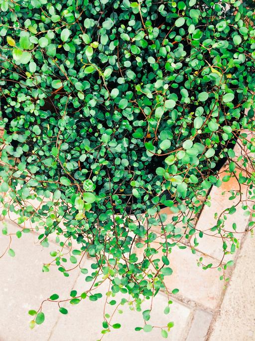 *タデ科ミューレンベッキア属 *Muehlenbeckia *別名:ワイヤープランツ  小さな丸い葉っぱがわさっと茂り、細い茎は赤茶色で光沢があり細かく枝分かれし成長します。この茎が針金のように見えるところからワイヤープランツとも呼ばれています。