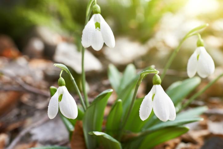 *ヒガンバナ科ガランサス属 *Galanthusnivalis *別名:待雪草  スノードロップは学名の「Galanthus」はギリシア語で「乳のように白い花」を意味し、「nivalis」はラテン語で雪を語源として「雪の中やその近くに生長する」という意味があるようです。スノードロップの別名は「待雪草」のほか、「雪のしずく」や「雪の草」ともいわれ、学名と同じような意味で呼ばれています。