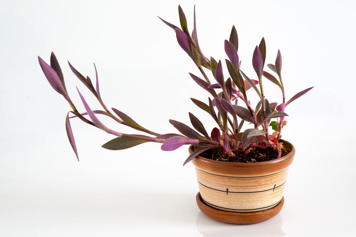 *ツユクサ科 ムラサキツユクサ属 *Tradescantia  日本でもよく見られるムラサキツユクサと同じ仲間で、葉が美しいので観葉植物として扱われています。色合いも紫色だったりでインテリアのポイントになります。