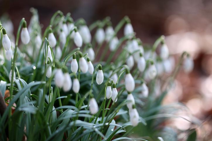 スノードロップは日が当たると花が開き、夜になると花びらが閉じます。スノードロップは2月~3月頃のまだ寒い時期に花を咲かせるので、昼の間に吸収したあたたかい空気をためこむためのようです。花びらが閉じた状態もしずく型で本当に可愛いですね。