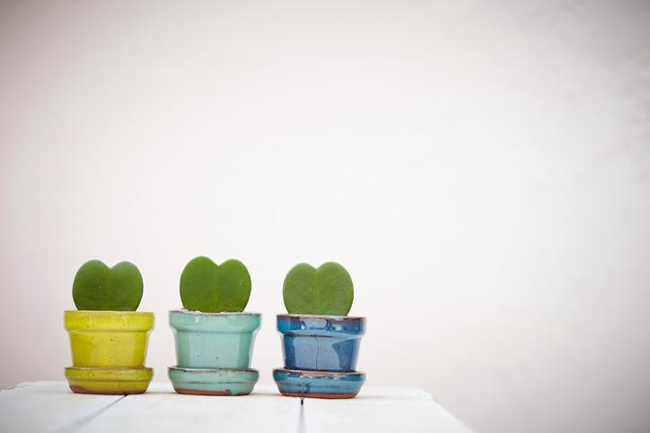 Heart shape cactus