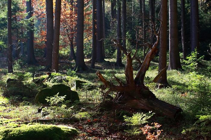 木々に覆われた湿度のある場所にはよくシダ植物がいます。日本でも、ヒトツバやリョウメンシダ、イノモトソウなどの種類を見ることができます。また古典園芸として観賞されてきたマツバランや、着生させて観葉植物として楽しめるビカクシダなど様々です。