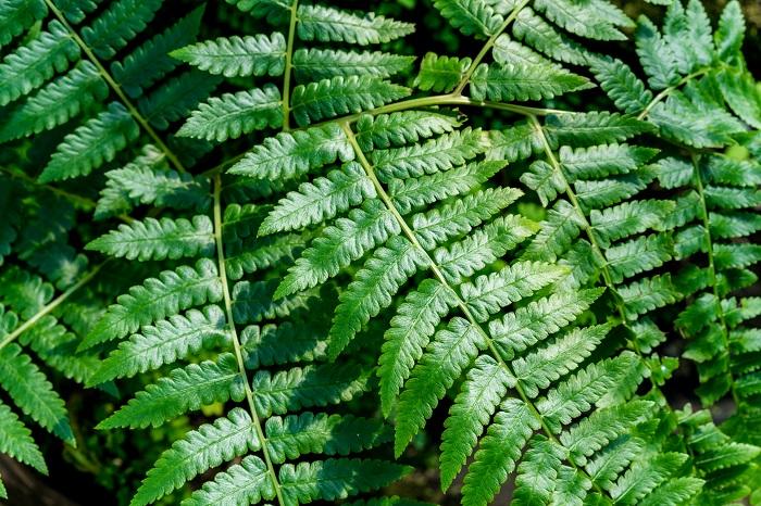 繊細な葉を持つ神秘的なシダ植物 シダ植物は、古くから地球上に生息する植物。花をつけることなく、胞子体や子株で増えていきます。シダ植物には多種類いて、種類によって生態環境に合わせた葉の形や性質を持っています。