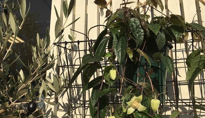 """種類の豊富なクレマチスですが、冬に開花する種類があるのをご存知でしょうか?  冬咲きのクレマチスは、春~秋にかけて開花するクレマチスほど種類は豊富ではありませんが、数種類あり、落葉するタイプとしないタイプがあります。今回は落葉しない常緑タイプの """"アンスンエンシス"""" という品種の紹介をします。"""