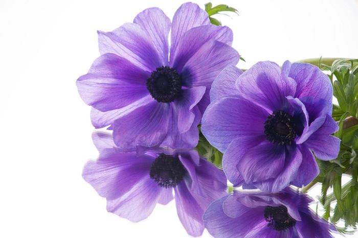 春に咲くアネモネの花は一重咲きや八重咲きのものもあり様々な品種が栽培されています。こんなに綺麗な花びらですが、花びらにみえるものは萼片(がくへん)です。  花びらと形の可愛い雌しべ・雄しべの色のコンストラストもアネモネの魅力の一つです。  実生(みしょう)からも球根からも栽培できるアネモネは古くから大変人気のお花です。