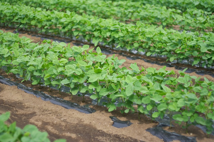 家庭菜園や市民農園などの畑を借りて野菜を育てている方も多くなってきたのではないでしょうか。  大豆の日をきっかけに、今年は是非育てることにもチャレンジしてみてはいかがでしょうか。