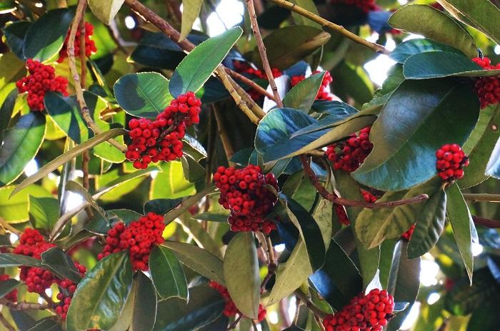 こちらは高木の樹木で、大きいもので10メートルほどまで育ちます。高い木の上部にビッシリと赤い実がつき、鳥たちも食べるものが少なくなった頃に食べに来るので、長く赤い実を楽しめます。こちらも庭木や寺社仏閣に多く植栽されている樹木で、雌雄異体なので赤い実がつくのは全てメスの木になります。