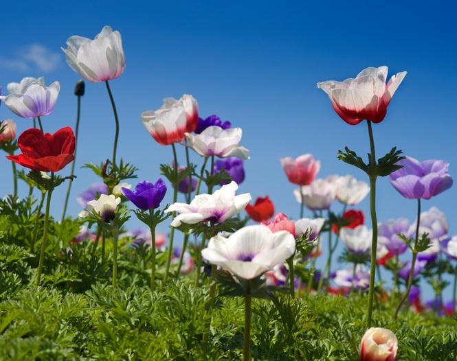 春のうららかな日差しとお庭に咲くアネモネ。春風に揺れるアネモネはお庭に是非欲しいですね。  おだやかな風に起されるように開花し、種は風によって運ばれるアネモネはイギリスで「ウインドフラワー(風の花)」とも呼ばれているようです。