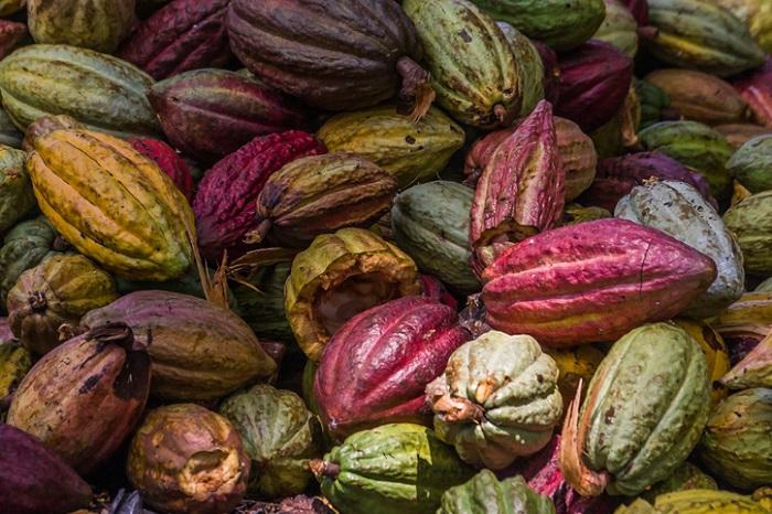 カカオの実はカカオポッドといって、長さ20cmくらいのラグビーボールのような形をしています。このカカオポッドは、厚さ1cm以上の堅い殻で覆われており、殻の中の白い果肉に包まれた種子のカカオ豆が入っています。