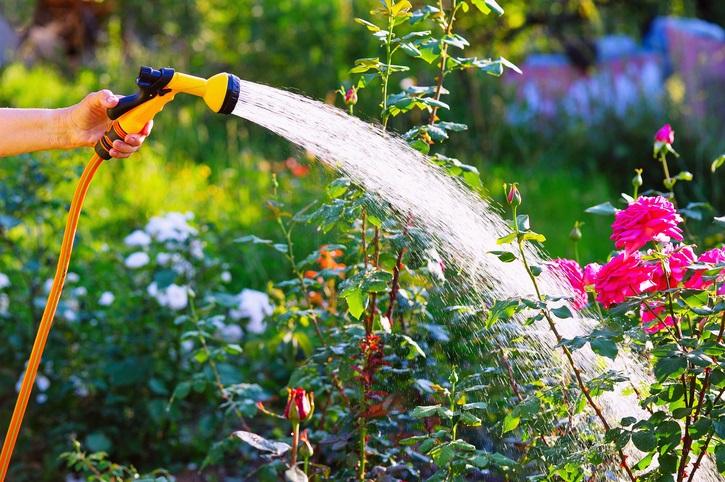 Senior woman hand watering rose flowerbed