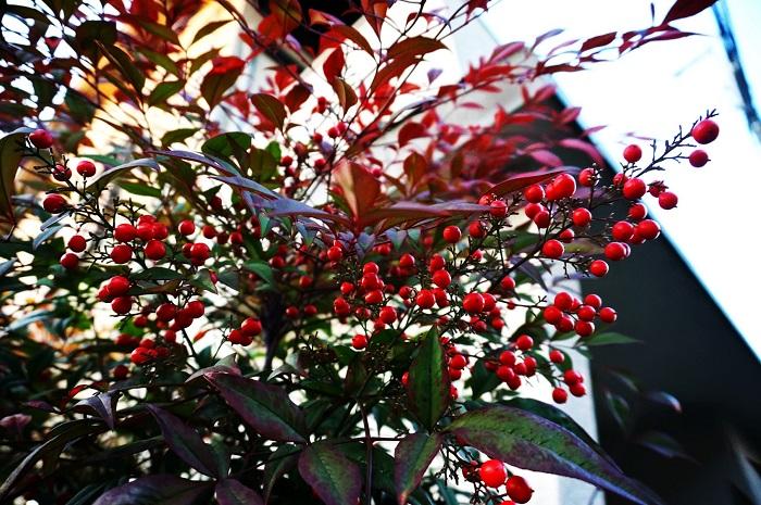 ナンテンも「難を転じる」と言われ、庭木に多く使われてきました。日が当たりにくい場所でもよく育つので、家の北側の方に植えられていることが多いです。実はブドウの軸をひっくり返したようになります。冬になれば、葉も赤く紅葉していることが多く、寺社仏閣などでもよく目にします。背丈は1~2メートルほどの低木です。