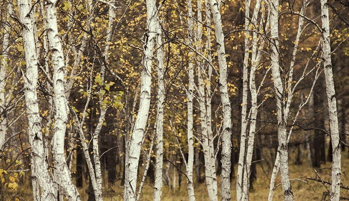 白い樹皮が美しいシラカバ。花粉症を引き起こすなんて予想外ですよね。しかし、シラカバ花粉のアレルギーでは、バラ科の果物(りんご、いちごなど)を口にした際、口の痒みや喉の腫れなどを引き起こしやすいこともあり、注意が必要です。