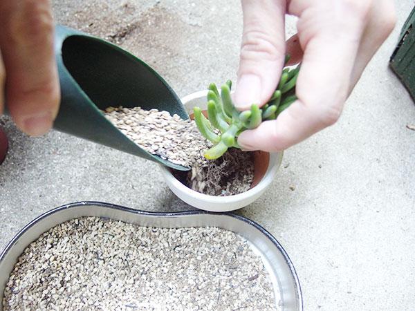 そもそも、ガーデニングなどに使う園芸用の土と多肉植物専用の土って何が違うの? と疑問をお持ちの方もいらっしゃると思います。簡単に違いを説明すると、水はけが良いか悪いかです。園芸用の土は、水持ちがある程度良く肥料成分が含まれています。それに対し多肉の土は、大変水はけがよいので乾きやすく、肥料も微量かほとんど含まれてない土なのが特徴です。