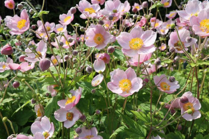 秋を感じさせる花で、地下茎で増えたり、こぼれ種で増えます。色は白やピンク、八重咲きの品種があります。冬は地上部が枯れるので、地際で枯れた部分を取り除いてあげます。