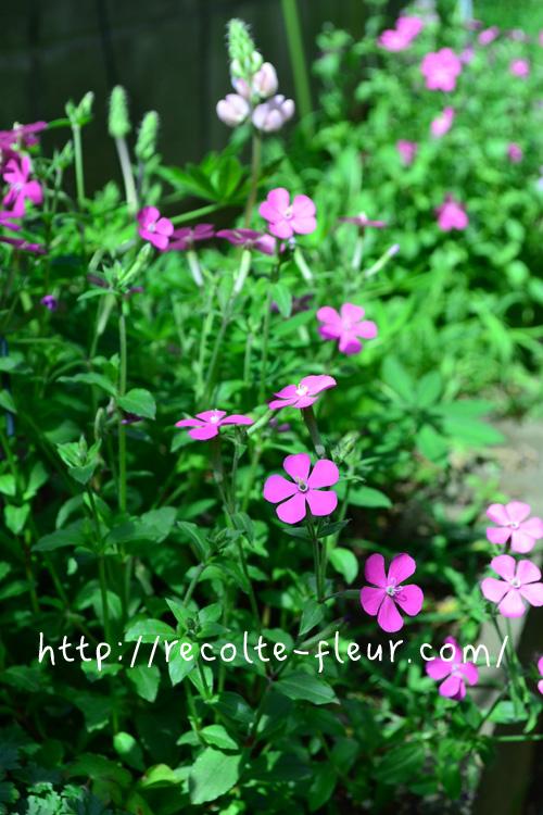 ピンク系の花が好きな方におすすめ。たくさん花が咲きます!