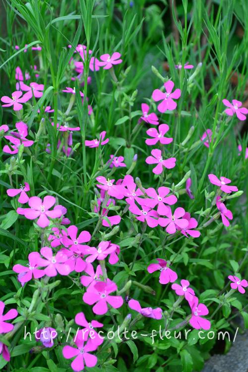 初夏になると、急に花数が増えます!どんどん花がらを摘んでいきます。