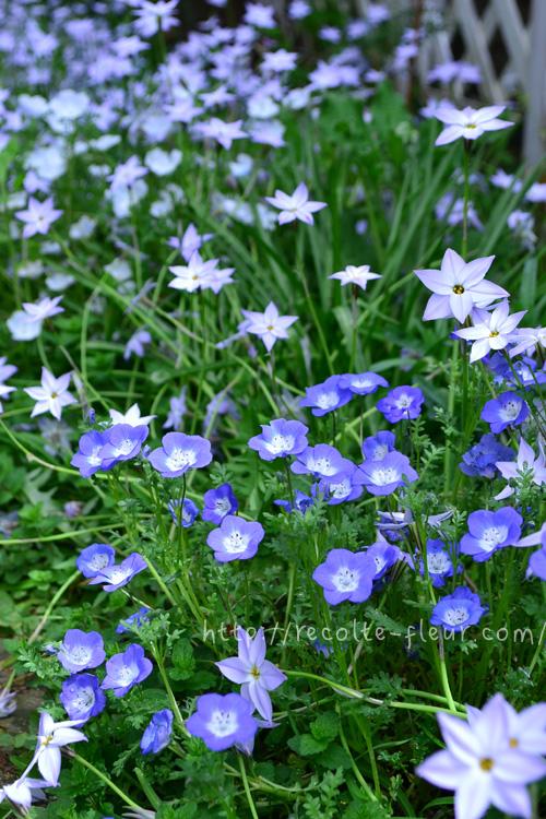 ネモフィラはブルー系が好きな方におすすめの4月~5月開花の春の一年草。コンテナやハンギングに植えてもかわいいですよ。