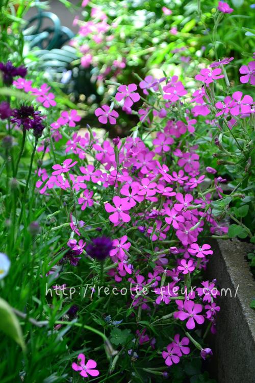 1株でかなり広がります。花壇からあふれでるように咲く光景は見事です。横に広がるので、グランドカバーとしても優秀です。