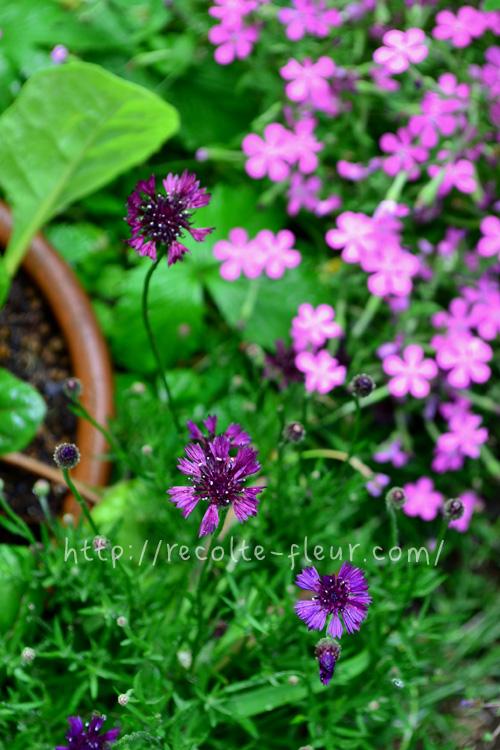 花がらをまめに摘むと6月ごろまで咲くので、春から初夏まで長く花が楽しめます。