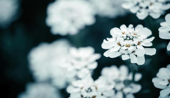 イベリスの中でもこの多年草タイプのイベリス・センペルヴィレンスは、とても丈夫で耐寒性もあり今年の春のガーデニングにおすすめしたい花です。  小花が集合した純白の可憐なお花で、4枚の花弁は外側の2枚が大きく、内側の2枚が小さい花が集まってできています。こんなに小さな花が密集しているのに、花弁が重ならないように配列されている様(さま)に完璧な自然の美を感じます。  こんもりとした花のボリューム感から、砂糖菓子のように例えられたことから「キャンディタフト」とも呼ばれていますが、もともとのイベリスという名は、イベリア半島に多く自生していることから名づけられたようです。  別名であるマガリバナは、イベリスの花が太陽を探すように曲がりくねりながら生長する様(さま)から名づけられました。  もう一方の別名トキワナズナという名前の花はアカネ科のフーストニア属の花で、アブラナ科のイベリスとは科が違いますが、このイベリスの品種センペルヴィレンスのみが「トキワナズナ」と別名で呼ばれているようです。