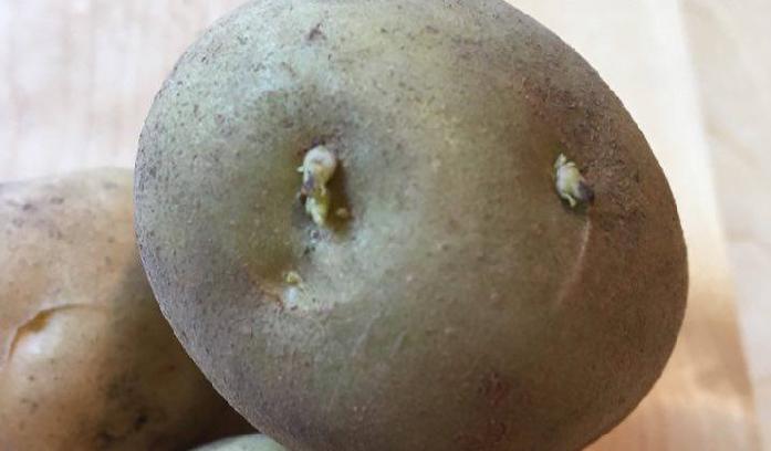ジャガイモの植え付けは2月後半から3月以降ですが、ジャガイモを植え付けようと計画している方はそろそろ種イモを用意しましょう。  そこで植え付け前の一仕事「ジャガイモの芽出し」です。ジャガイモの順調な初期生育のために芽を軽く出してから植え付けてあげましょう!というのがこの「ジャガイモの芽出し」のねらいなのです。
