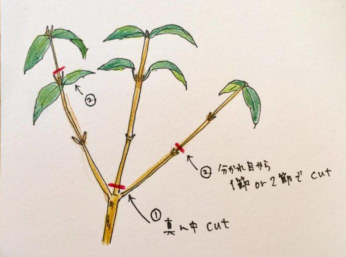 赤いラインのところで剪定します。  残す枝の先端を上記のように剪定し、その後全体的に形を整えていきます。遠くから眺めつつ、残す枝と落とす枝を決め、少しずつ手を入れていきます。
