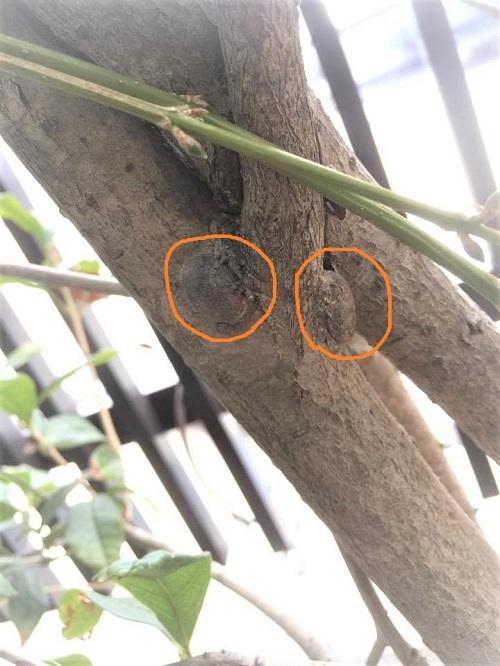 イラガの繭は木のまたや枝元など、見つかりにくい所に作られます。見つけたら捕殺するようにしましょう。