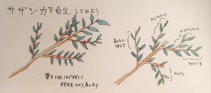 ①不要枝をカット  ②全体的に、交差している枝、幹の方に向かっている枝、下方に下がっている枝(つまり不要枝)を根元からカット  ③枝ごとに葉を3枚ほど残す程度で葉のすぐ上でカット  ▼枝ごとにカットして樹形を整えていく