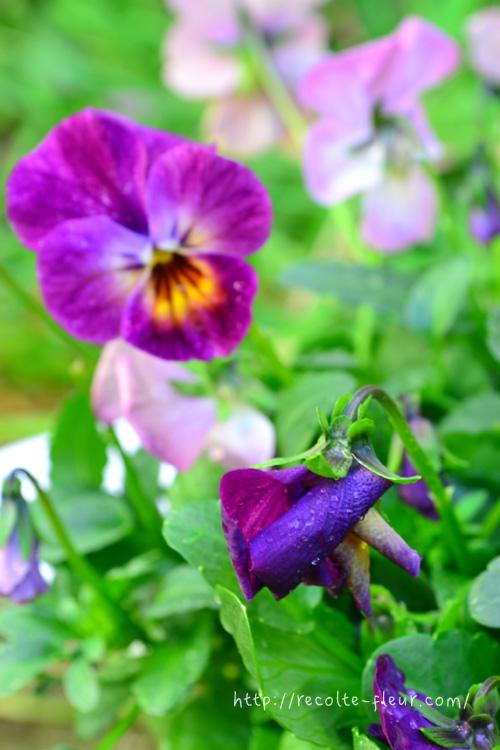 花がらとは、終わった花のこと。写真の手前のビオラのように花びらがシワシワになって、くるんとカールしてきたら終わりの合図です。